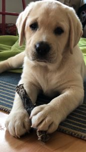 Captain - künftiger Therapiehund Daniela Weh Gesundheitsberatung